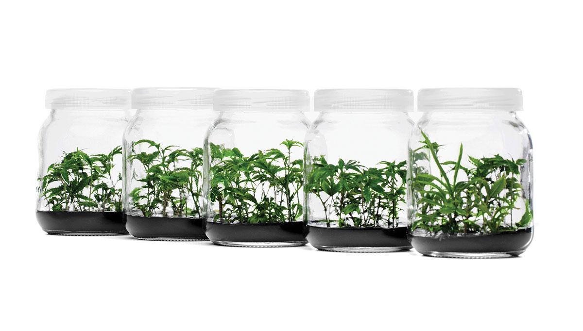 Plant tissue culture samples in jars