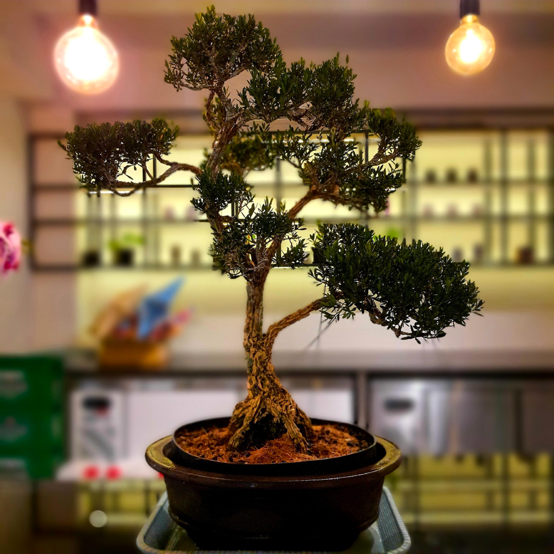 Bonsai tree in pot at office with light bulbs