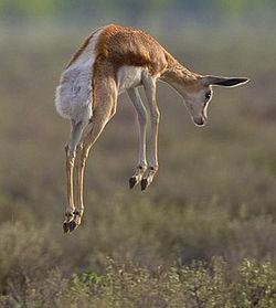 stotting gazelle
