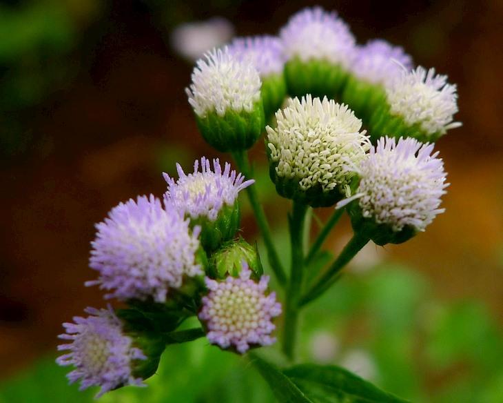 Sử dụng hoa ngũ sắc là biện pháp điều trị xoang đơn giản tại nhà