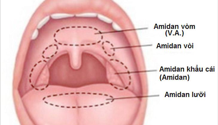 Amidan là gì? Phân loại amidan trong khoang miệng