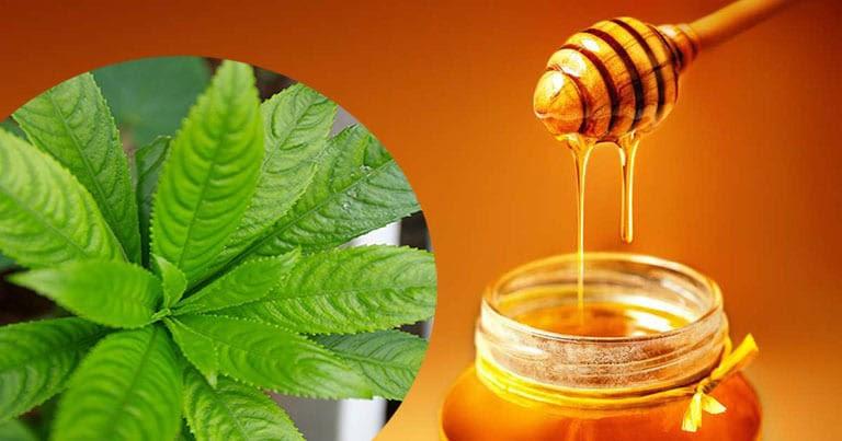 Bài thuốc từ lá xương sông và mật ong mang lại hiệu quả điều trị viêm amidan khá tốt