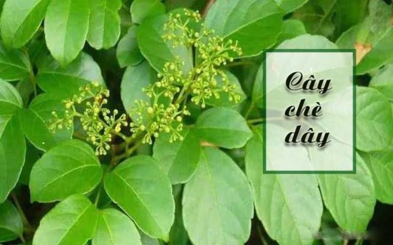 Chè dây là vị thuốc lành tính trong điều trị đau dạ dày