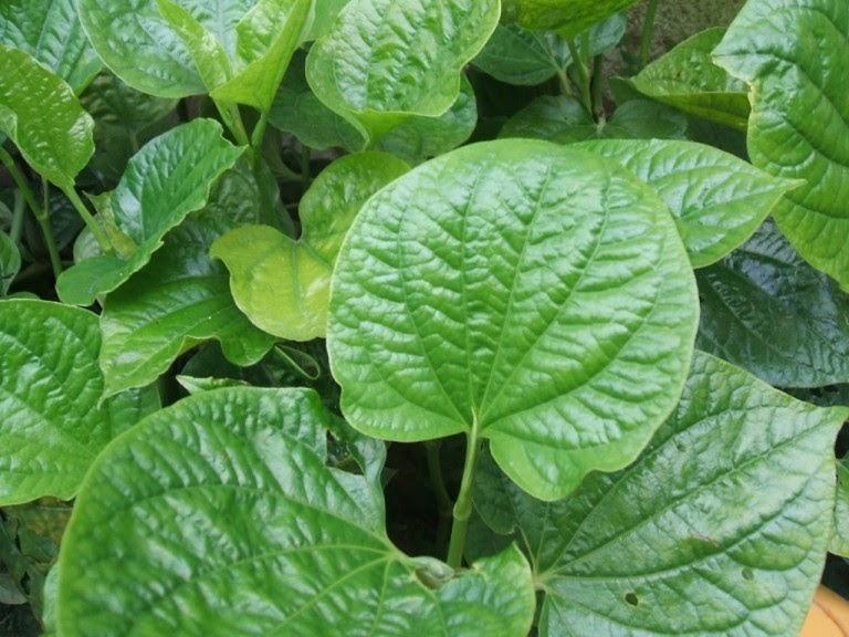 Chữa viêm mũi dị ứng từ lá cây bằng lá lốt được nhiều người sử dụng