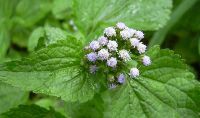 Hoa ngũ sắc là nguyên liệu dùng để cải thiện các triệu chứng viêm mũi
