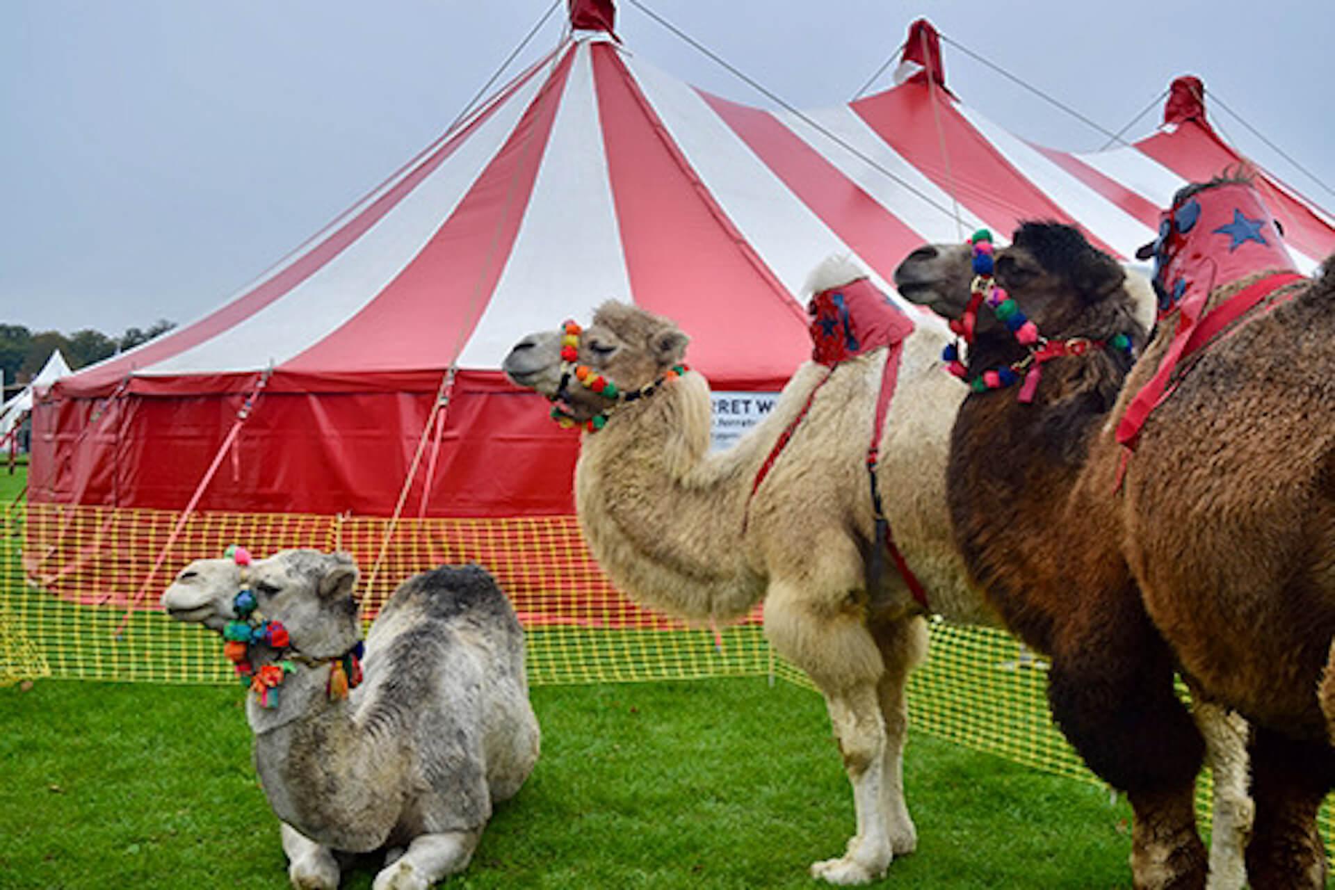 Camels at Showman's Show Newbury