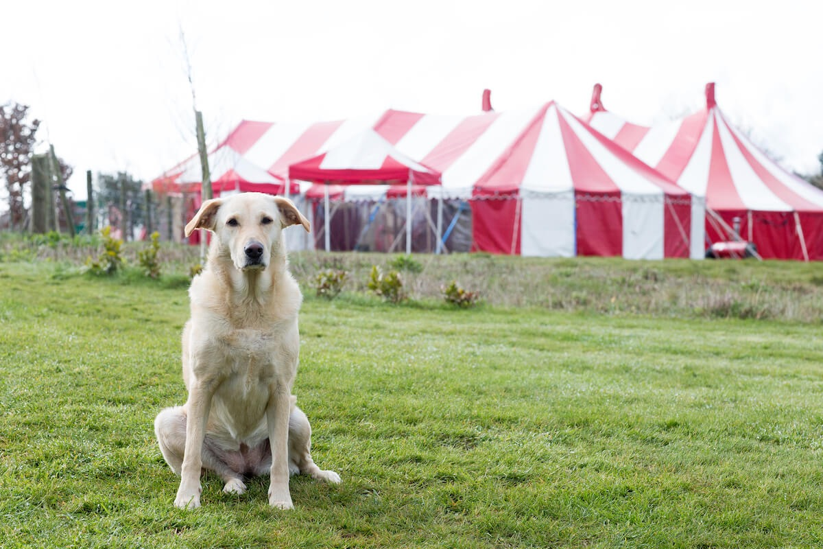 Family guard dog alternative security at colourful fun wedding