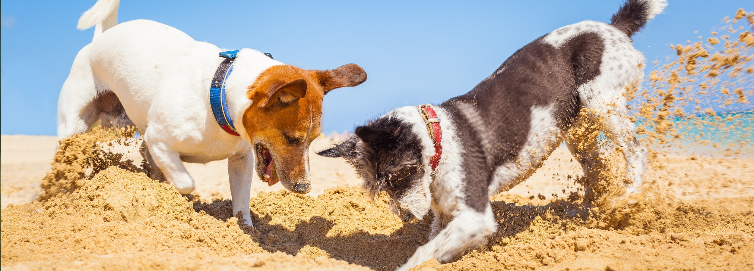 Two dogs digging