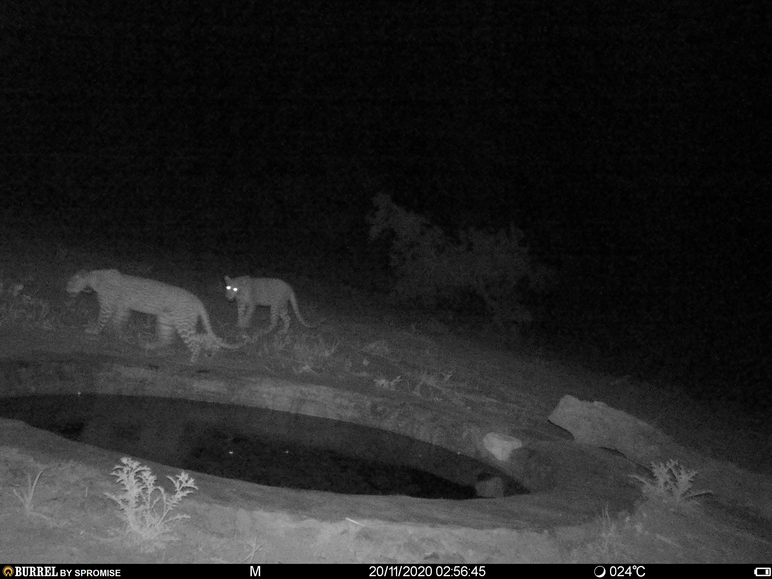 Two leopards captured on a camera trap in Phundundu wildlife area