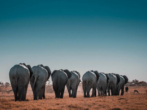 Why Do People Poach Elephants?