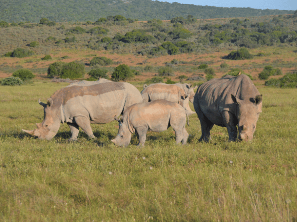 Why Are Rhinos Poached?