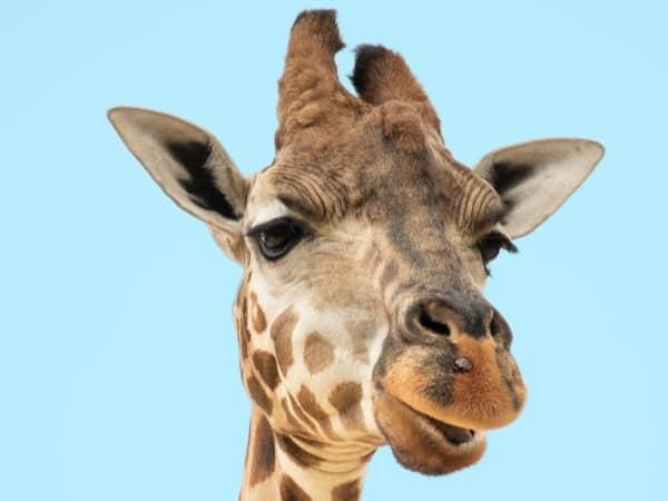 Why Do Poachers Kill Giraffes?