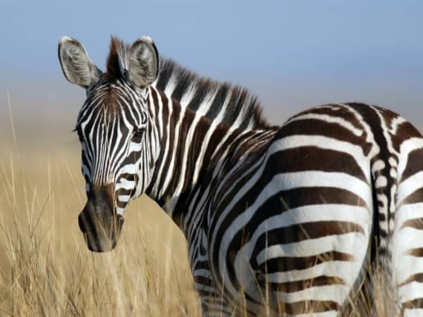 Why Are Zebras Poached?