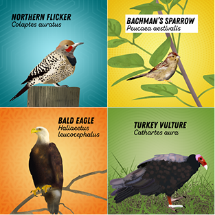 Illustrated graphic showing 4 birds: northern flicker, Bachman's sparrow, bald eagle, and a turkey vulture