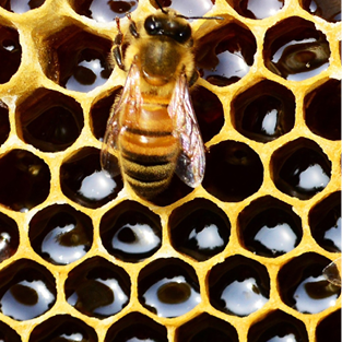 Close-up of a bee against a honeycomb background