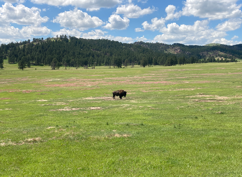 A lone bull in Wind Cave National Park.