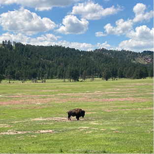 A lone bull in Wind Cave National Park