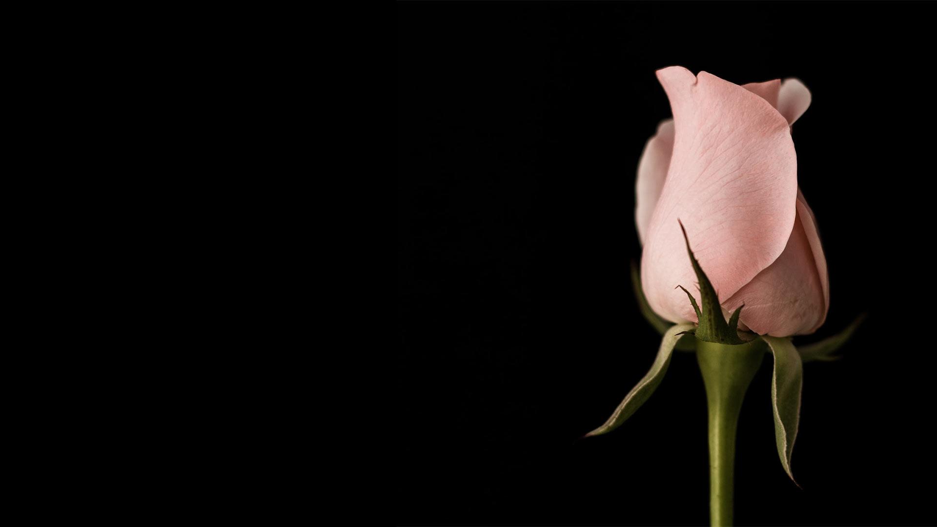 Roza ruža