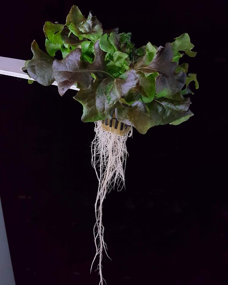 a picture of lettuce and roots