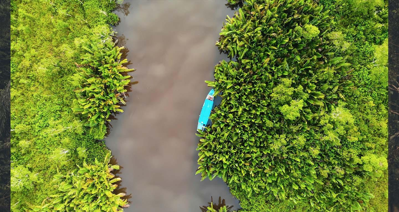Wild borneo river Kratom farming