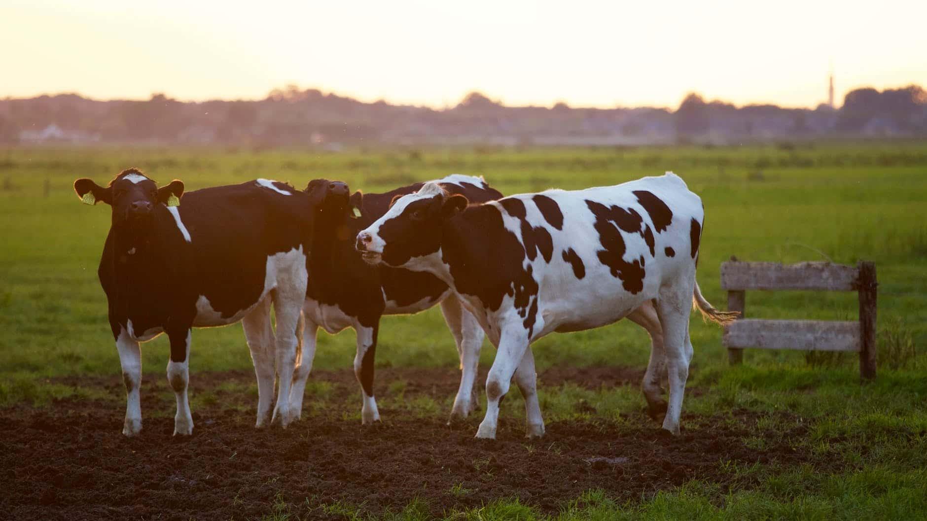 cow milks