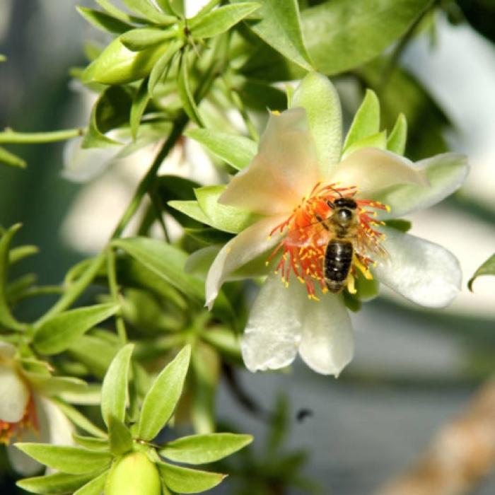 Pereskia flower