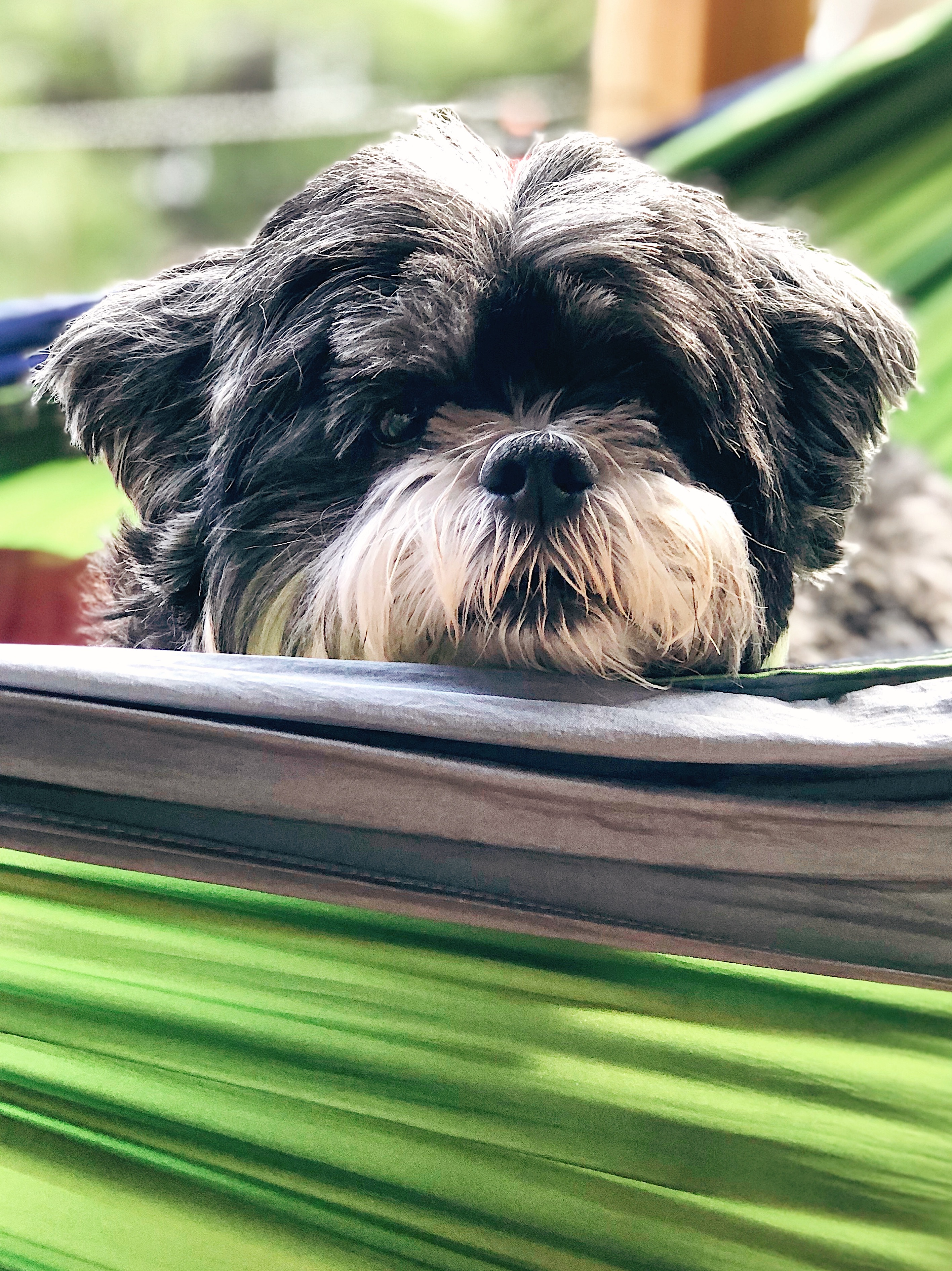 A photo of our dog Roscoe, a lhasa apso, peeking over the edge of our green hammock in the sun