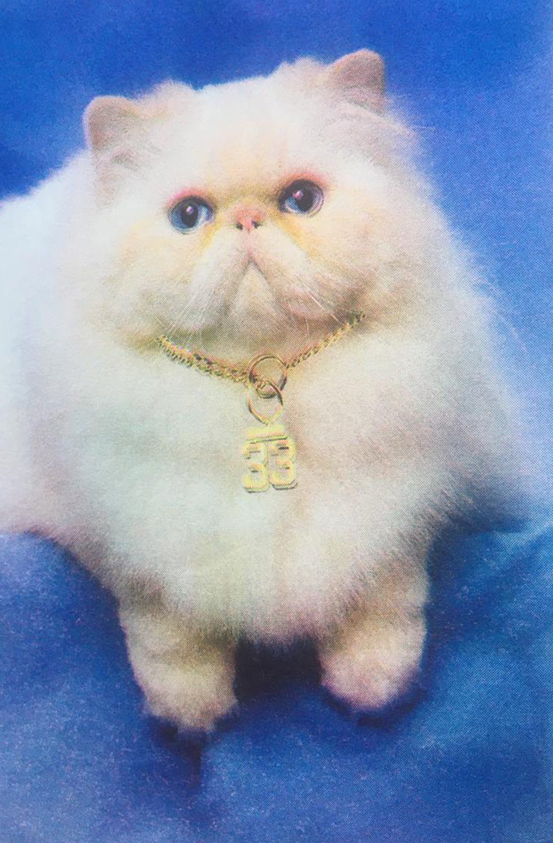 a white cat with a golden necklace on a blue velvet cover
