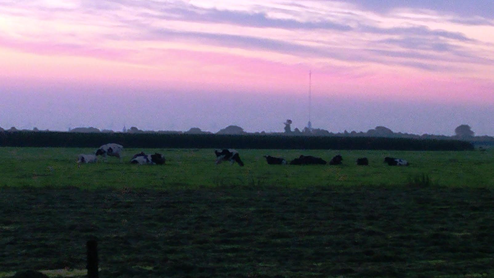 פרות במרעה על רקע שקיעה בהולנד
