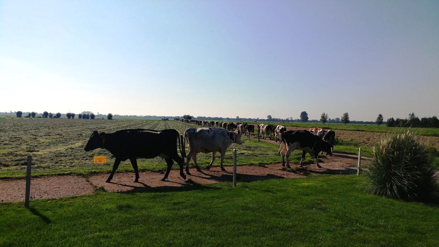 פרות עוברות בחצר הקדמית של הצימר בחווה