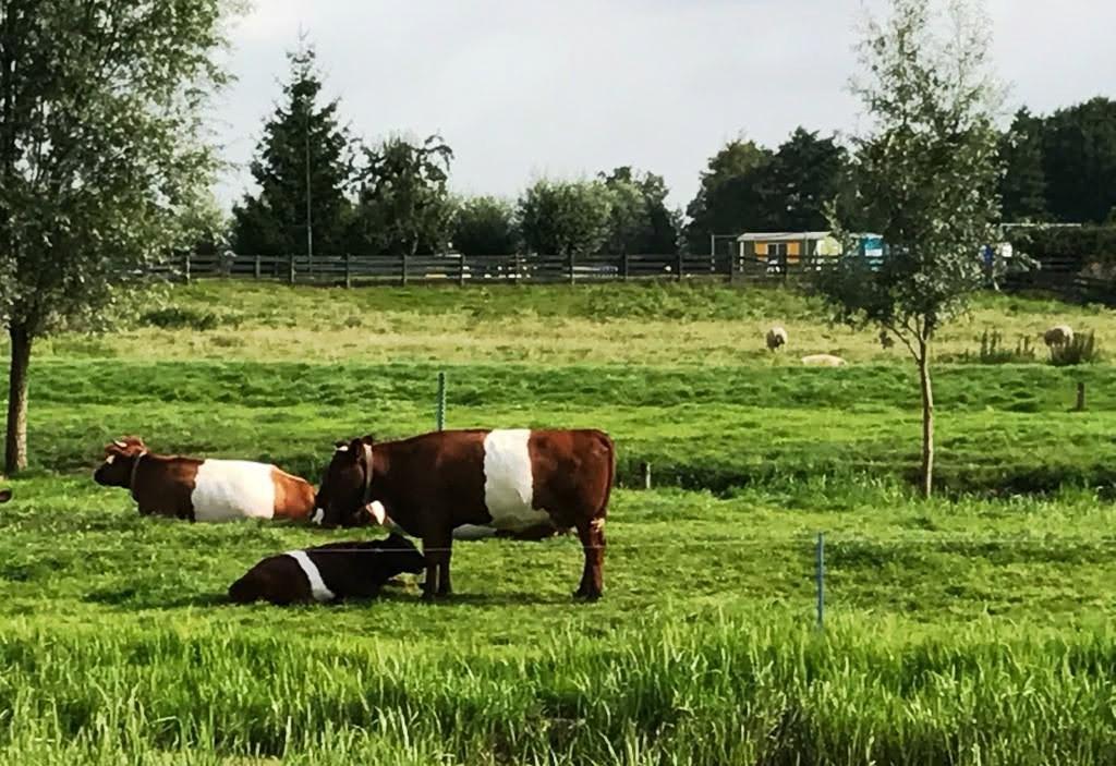 נוף אופייני הולנדי של פרות במרעה