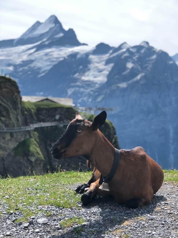 תיש על פסגת הר פירסט בשוויץ
