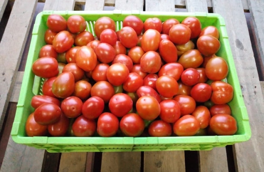 Fresh tomatoes sourced directly from smallholder farmers in Kieni