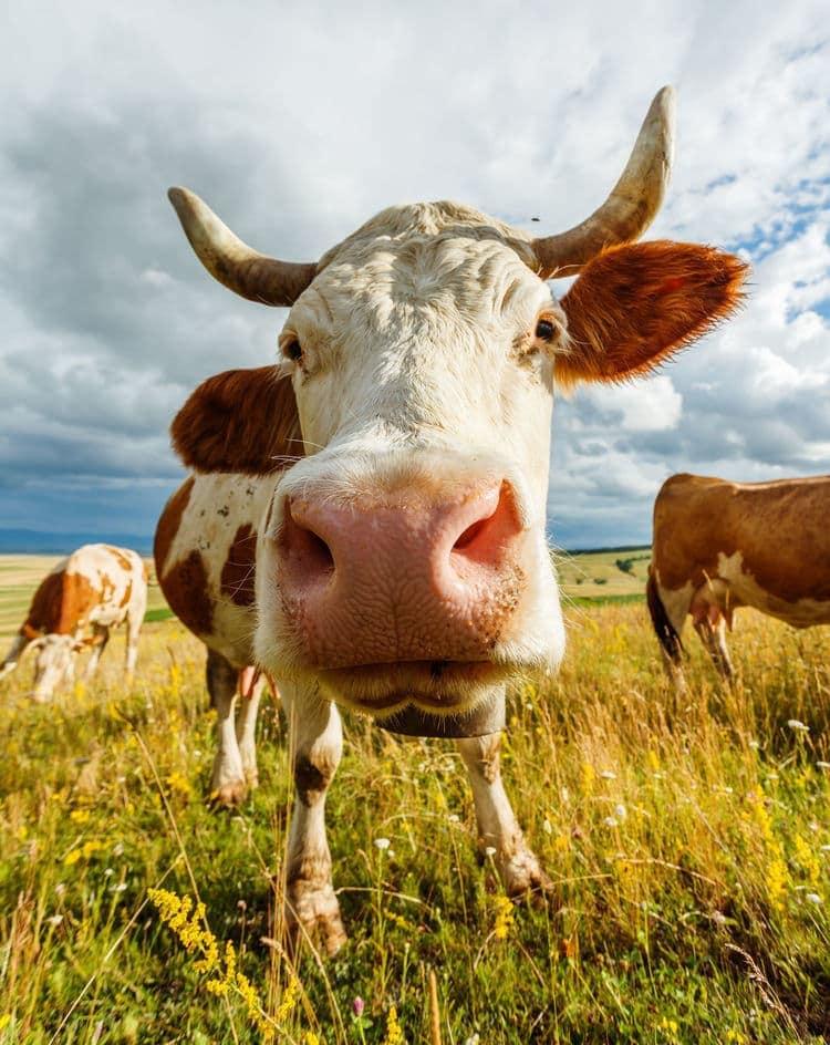Buy Grass Fed Organic Beef