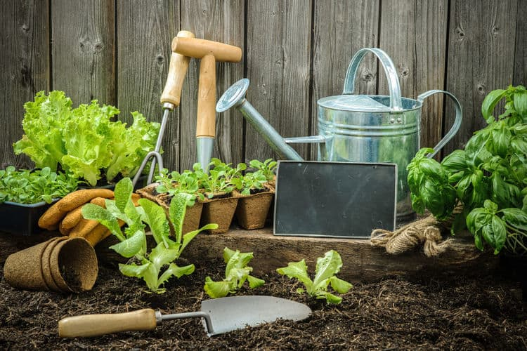 Gardening tools watering can fresh lettuce and basil growing