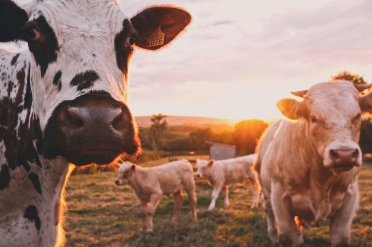 sustainable - cows in a field
