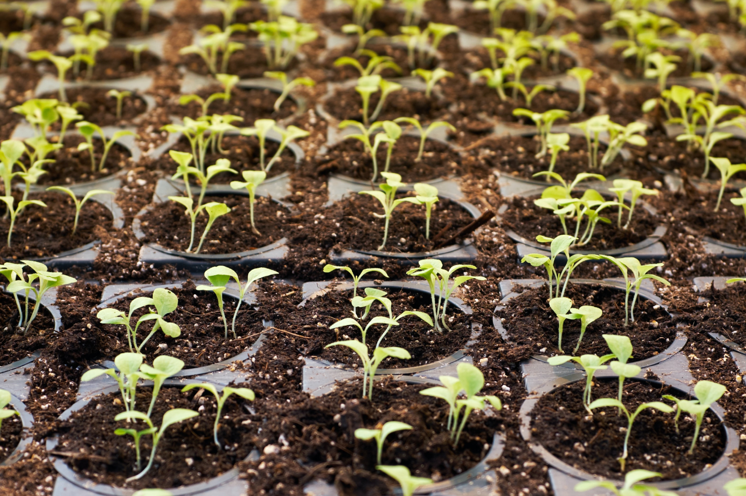 A closeup on rows and rows of small green plants sprouting from small plastic pots