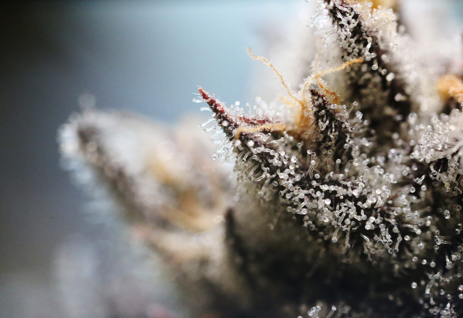 high quality close up image of a Cannabis strain with thc in plain view