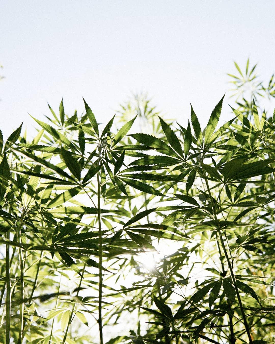 marijuana-strain-hybrid-glass-jars-full