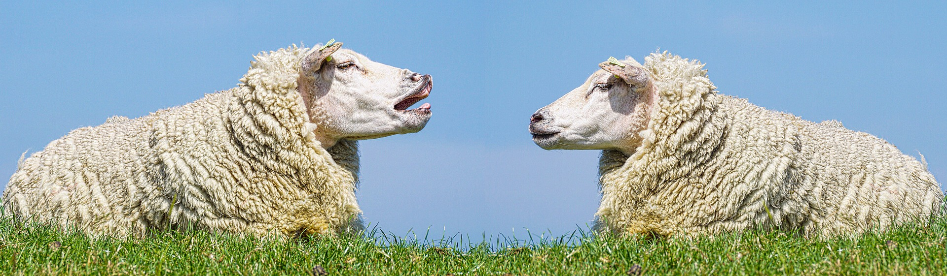 Two sheep facing each other and lying down in green field.
