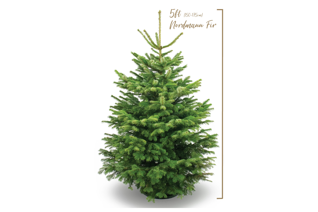 British grown high quality Nordmann Fir Christmas tree. Please note as our trees are 100% natural and so their size is controlled by mother nature herself, your tree will be between 150cm - 175cm.