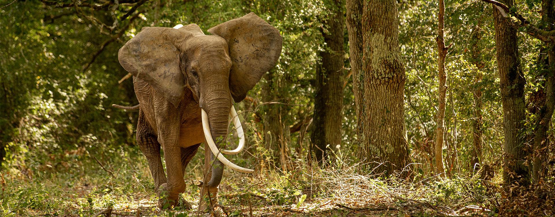 un éléphant d'Afrique en liberté dans la forêt