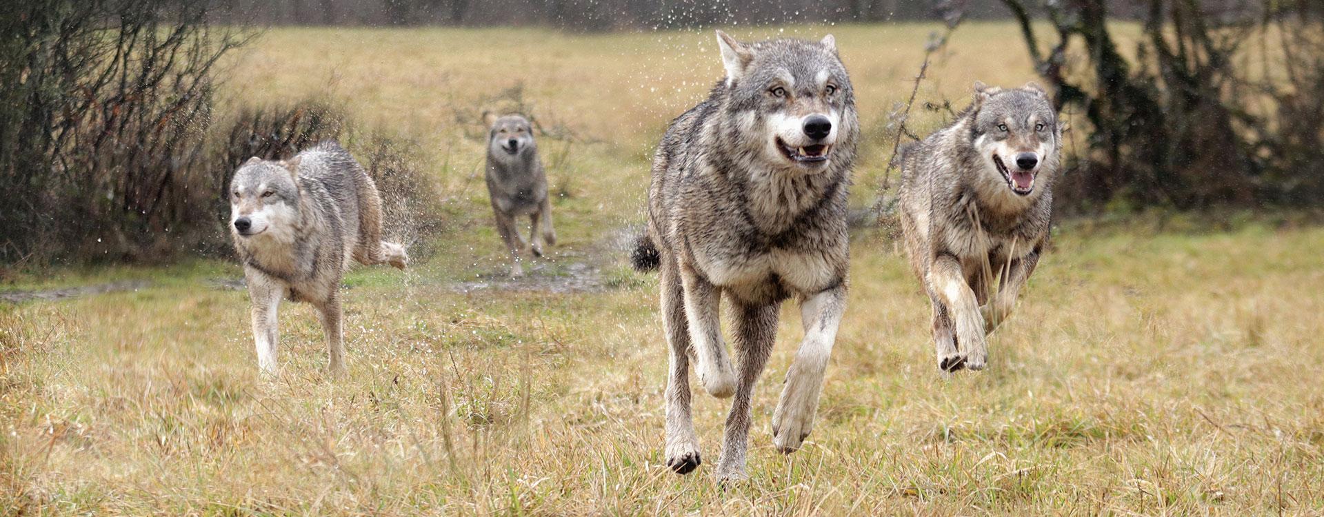 une meute de 3 loups courant dans un pré