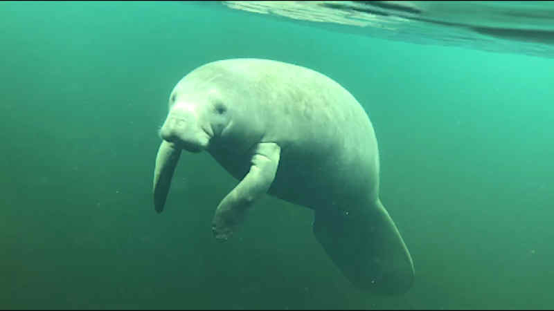 A manatee swimming under water.