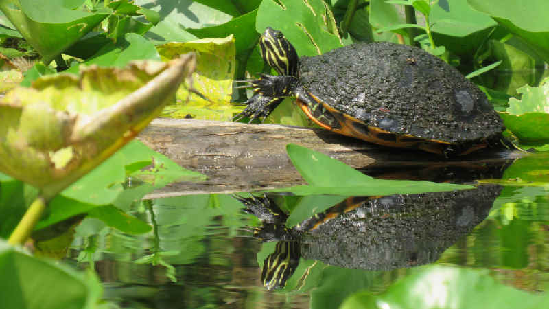 A turtle on a log mirroring in the wekiva river.