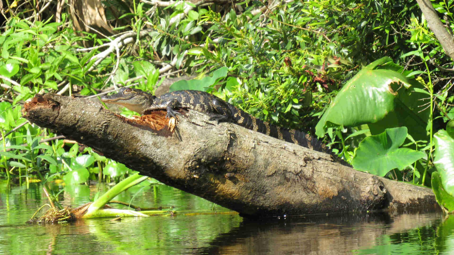 A cute baby alligator sunning on a log.