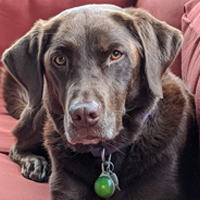 A beautiful chocolate Labrador dog   looking directly at you