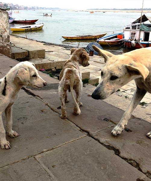 Street dogs in Varanasi
