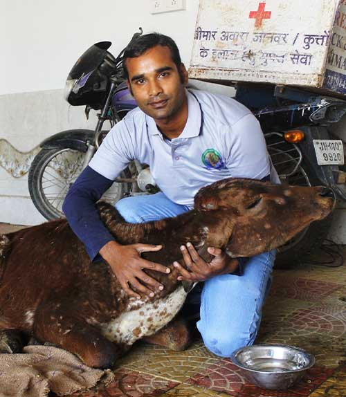 Dr Deepak caring for a cow