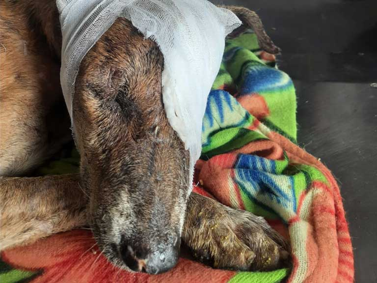 Rescued dog recovering after surgery